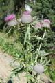 Cardo scardaccio/Cirsium eriophorum