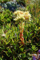 Semprevivo di Wulfen/Sempervivum wulfenii