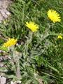 Epervière velue/Hieracium villosum