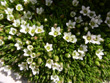 Zweiblütige Miere/Minuartia biflora