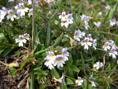 Eufrasia minima/Euphrasia pulchella
