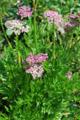 Ligustique naine/Ligusticum mutellinoides
