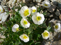 Renoncule alpestre/Ranunculus alpestris