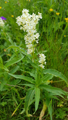 Renouée des Alpes/Polygonum alpinum
