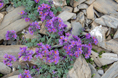 Linaire des Alpes/Linaria alpina ssp. alpina