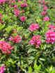 Rhododendron ferrugineux/Rhododendron ferrugineum