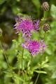 Alpen-Skabiosen-Flockenblume/Centaurea scabiosa ssp. alpestris