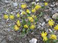 Anthyllide alpestre/Antyllis vulneraria ssp.alpestris