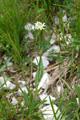 Armblütige Gänsekresse/Fourraea alpina
