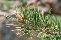 Pino uncinato/Pinus mugo ssp. uncinata