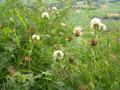 Trèfle des montagnes/Trifolium montanum