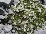 Moehringia cigliata/Moehringia ciliata