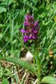 Orchis à feuilles larges/Dactylorhiza majalis