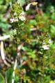Euphrasia pezzata/Euphrasia versicolor