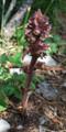 Distel Würger/Orobanche reticulata
