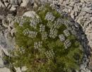 Dornnelke/Drypis spinosa