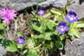 Dünnsporniges Fettblatt (Dünnsporniges Fettkraut)/Pinguicula leptoceras
