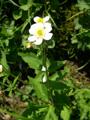 Eisenhutblättriger Hahnenfuss/Ranunculus aconitifolius