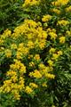 Hugueinie à feuilles de tanaise/Hugueninia tanacetifolia