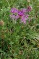 Centaurée nervée/Centaurea nervosa