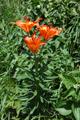Lis safrané/Lilium bulbiferum ssp.croceum