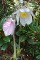 Frühlings-Anemone/Pulsatilla vernalis