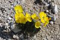 Pavot des alpes jaune/Papaver aurantiacum