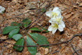 Rose de noël/Helleborus niger