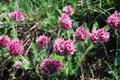 Gewöhnlicher Berg-Wundklee/Anthyllis montana ssp. montana