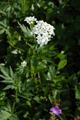 Achilleé à grandes feuilles/Achillea macrophylla