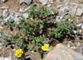 Grossblütiges Sonnenröschen/Helianthmum nummularium ssp. grandiflorum