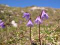 Soldanelle des Alpes/Soldanella alpina