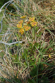Hahnenfuss-Hasenohr/Bupleurum ranunculoides