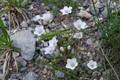 Lin suffrutescent/Linum suffruticosum ssp. appressum