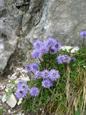Herzblättrige Kugelblume/Globularia cordifolia