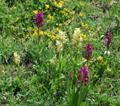 Orchis à odeur de sureau/Dactylorhiza sambucina