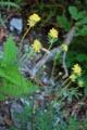Anthyllide vulnéraire/Anthyllis vulneraria ssp. carpatica