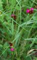 Karthäusernelke/Dianthus carthusianorum