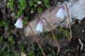 Kleinstes Alpenglöcklein, Kleinste Troddelblume/Soldanella minima