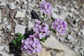 Rundblättriges Täschelkraut/Thlaspi rotundifolia ssp.rotundifolium