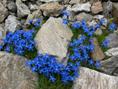 Kurzstieliger Bayerischer Enzian/Gentiana bavarica ssp. subacaulis