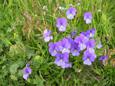 Pensée éperonnée/Viola calcerata