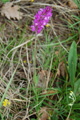 Nizza-Kreuzblume/Polygala nicaeensis ssp. mediterrana