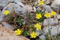 Helianthemum nummularium ssp. obscurum