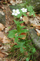Platanenblättriger Hahnenfuss/Ranunculus platanifolius
