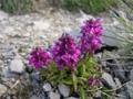 Quirlblättriges Läusekraut/Pedicularis verticillata