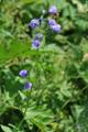 Rautenblättrige Glockenblume/Campanula rhomboidalis