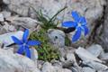 Rundblättriger Enzian/Gentiana orbicularis