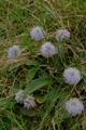 Globulaire à tige nue/Globularia nudicaulis