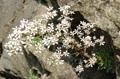 Sassifrage dei graniti/Saxifraga cotyledon